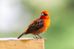 在塞舌尔群岛的一只小红色地方鸟 图库摄影