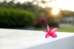 在墙壁上下落的赤素馨花(羽毛)花 免版税库存图片