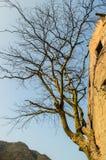 在墙壁上增长的树 库存照片