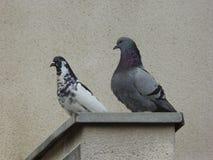 在墙壁上的两只鸽子 免版税库存照片