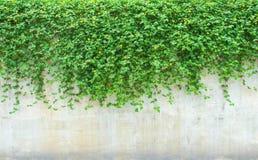 在墙壁上的园林植物。 图库摄影