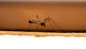 在墙壁上的大蚊子 免版税图库摄影