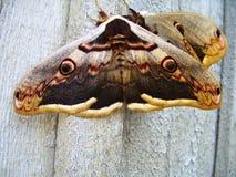 在墙壁上的大蝴蝶 免版税库存照片