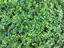 在墙壁上的小微小的绿色叶子 库存照片