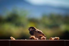 在墙壁上的小棕色鸟 吃面包的鸟 免版税库存照片