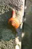 在墙壁上的小的蜗牛 免版税库存照片