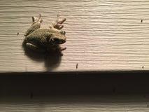 在墙壁上的小绿色雨蛙在门廊光狩猎昆虫附近 库存照片