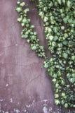 在墙壁上的常春藤叶子有拷贝空间的 免版税库存照片