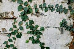 在墙壁上的常春藤叶子 免版税库存照片