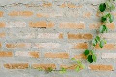 在墙壁上的常春藤叶子 库存图片