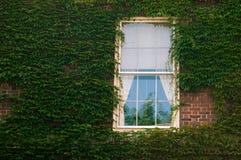 在墙壁上的常春藤有窗口的 库存照片