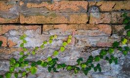 在墙壁上的常春藤背景的 库存图片
