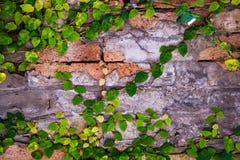 在墙壁上的常春藤背景的 免版税库存照片