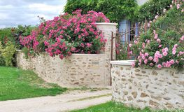 在墙壁上的桃红色玫瑰 免版税库存图片