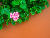 在墙壁上的桃红色花 库存图片