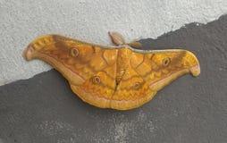 在墙壁上的棕色夜蝴蝶 库存照片