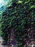 在墙壁上的植物 免版税库存图片