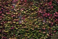 在墙壁上的槭树 免版税库存照片