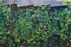 在墙壁上的波士顿常春藤有石板屋顶的 图库摄影