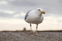 在墙壁上的海鸥在海,英国附近 免版税库存图片