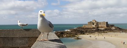 在墙壁上的海鸥有海岛和堡垒的小在圣Malo,法国的背景中 库存图片