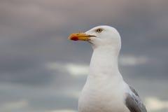 在墙壁上的海鸥,英国,奥尔德尼 免版税库存照片