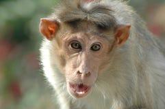 在墙壁上的特写镜头猴子 图库摄影
