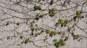 在墙壁上的狂放的葡萄 与藤的自然本底 免版税图库摄影