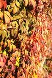 在墙壁上的狂放的葡萄 库存照片