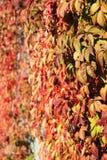 在墙壁上的狂放的葡萄 库存图片