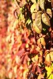 在墙壁上的狂放的葡萄 免版税库存图片