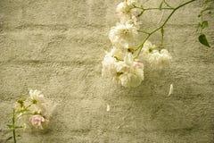 在墙壁上的白玫瑰 免版税库存图片