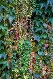 在墙壁上的秋天常春藤 免版税库存照片