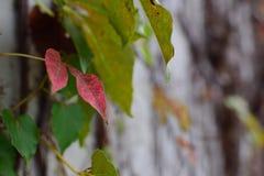 在墙壁上的红色叶子 库存图片