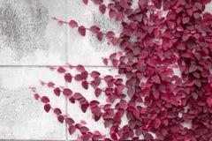 在墙壁上的红色爬行物厂 图库摄影