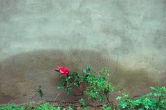 在墙壁上的红色花 免版税库存照片