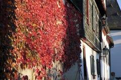 在墙壁上的红色藤叶子 免版税库存图片