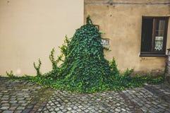 在墙壁上的绿色常春藤 免版税库存图片