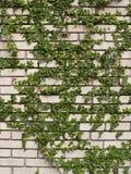 在墙壁上的绿色常春藤 免版税库存照片