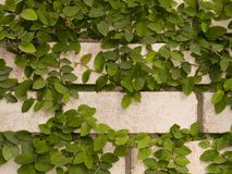 在墙壁上的绿色常春藤 库存图片