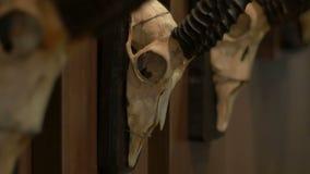 在墙壁上的羚羊头骨 股票录像