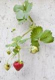 在墙壁上的草莓 库存照片