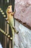 在墙壁上的蜥蜴 库存图片
