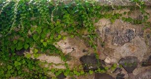 在墙壁上的野生植物 图库摄影