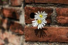 在墙壁上的雏菊花 免版税图库摄影