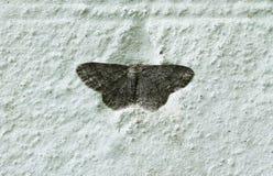 在墙壁上的飞蛾 免版税库存照片