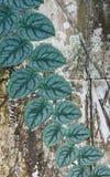 在墙壁上的马来西亚绿萝常春藤 免版税图库摄影