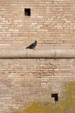 在墙壁上的鸽子 免版税库存照片