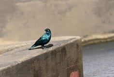 在墙壁上的更加了不起的青有耳的椋鸟科 库存图片