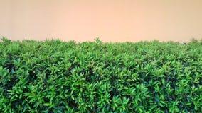 在墙壁上的绿色叶茂盛植物 库存照片
